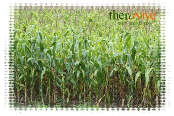 corn stocks
